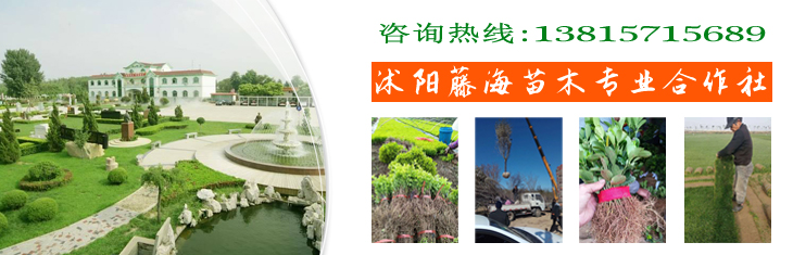 江苏宿迁沭阳县通海绿化苗木场